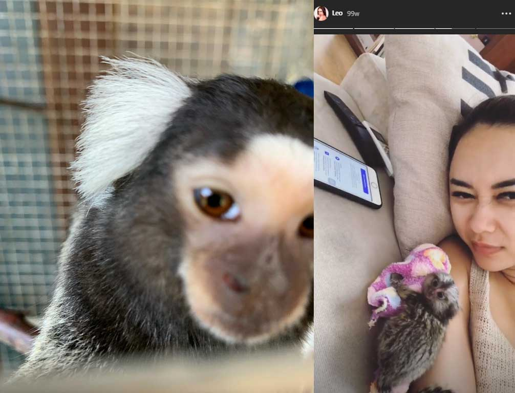 monyet-marmoset-aura-kasih.jpg3
